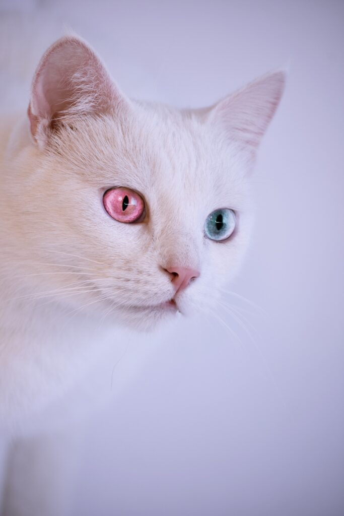 White cat with pink and blue eyes